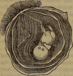 卵膜に包まれる赤ちゃんの絵
